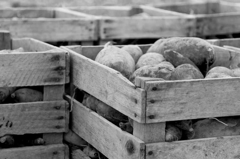 Download Sweet Potatoes stock photo. Image of vegetable, groceries - 21912344