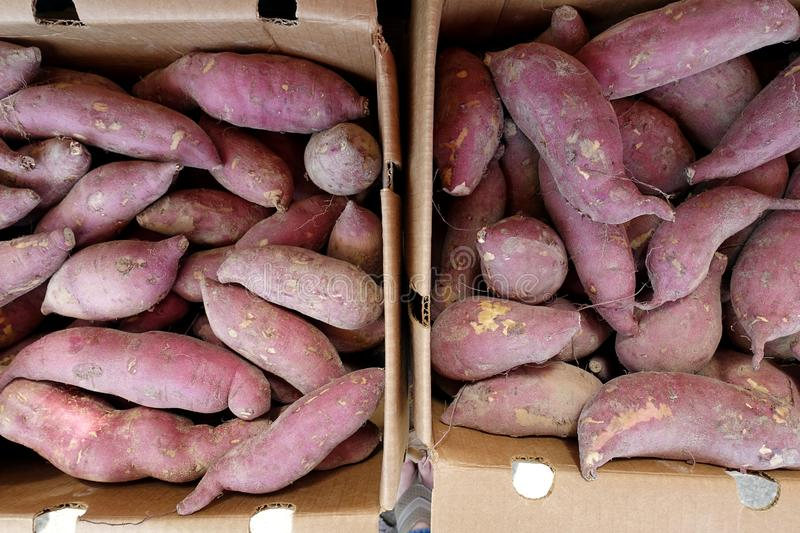 Sweet Potatoes Straight from the Farm and for Sale at a Local Farmers` Market. Beauregard Sweet Potatoes Straight from the Farm - Collected Inside Cardboard stock photo