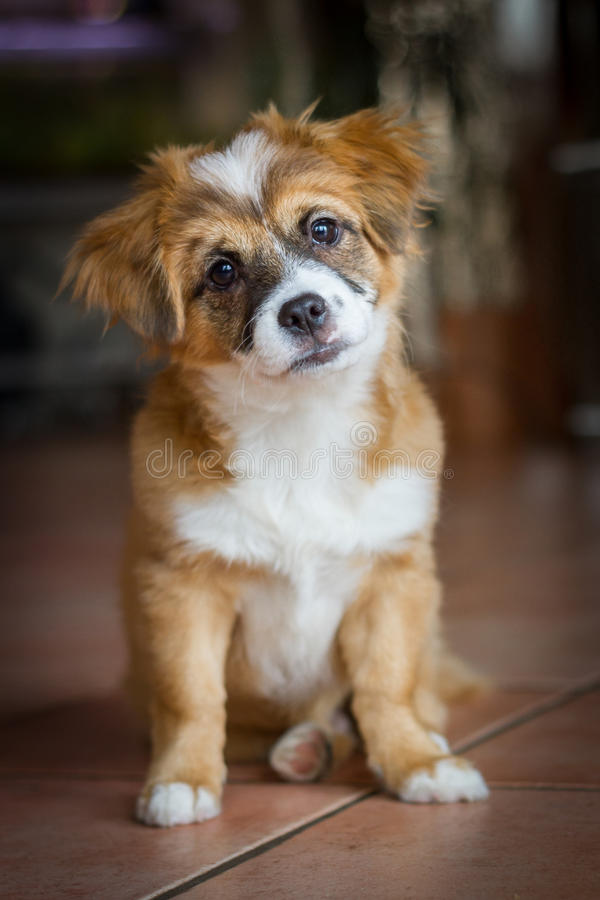 Sweet puppy with an angled view. A Small mixed breed puppy sitting and looking very sweet with a slightly oblique held head into the camera royalty free stock image