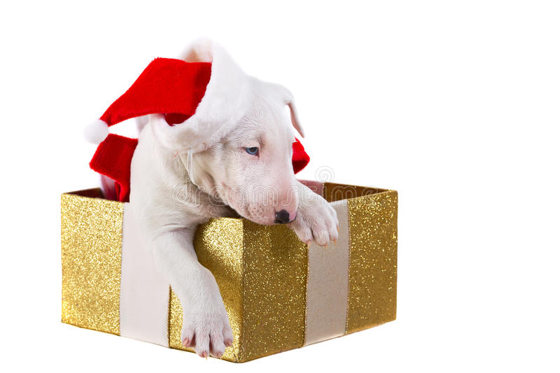 Sweet Puppy In Christmas Present Box Stock Photos