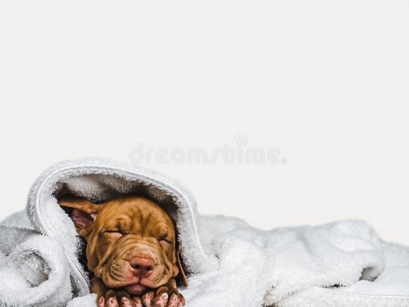 Sweet puppy sleeping on a soft plaid. Lovable, pretty puppy of chocolate color lying on a plaid. Close-up, indoor. Day light. Concept of care, education royalty free stock photos
