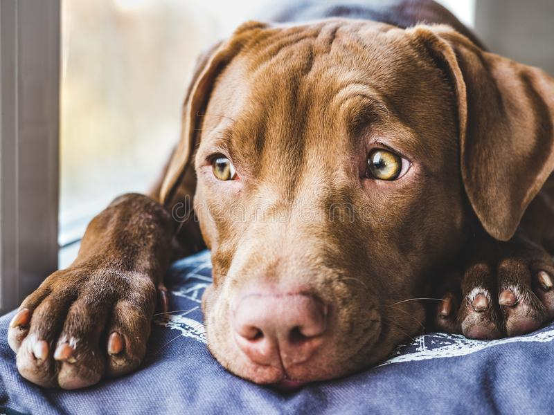 Sweet puppy sleeping on a soft plaid. Lovable, pretty puppy of chocolate color sitting on a windowsill. Close-up, indoor. Day light. Concept of care, education stock image
