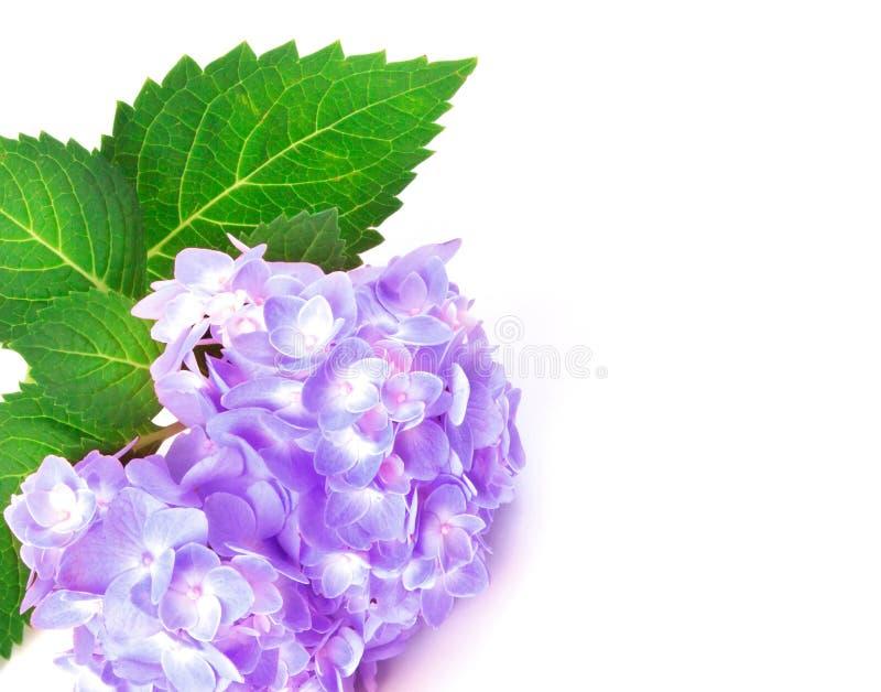 Sweet purple blue hydrangea flowers as frame border on a white. The sweet purple blue hydrangea flowers as frame border on a white background royalty free stock photos
