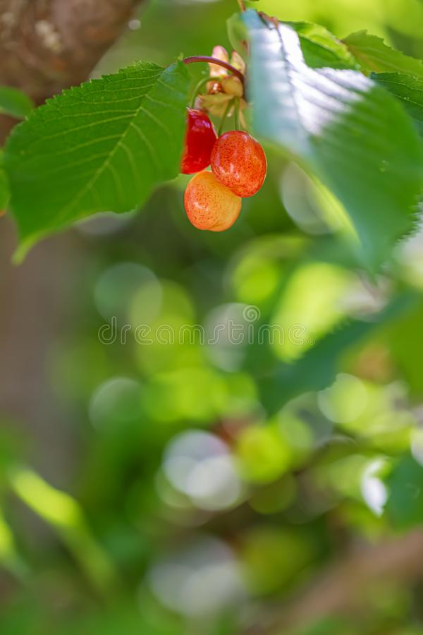 Sweet red cherry ripens on a green tree in the summer. Fruits on the branch of sweet cherry. Nature blurred bokeh background. royalty free stock photo