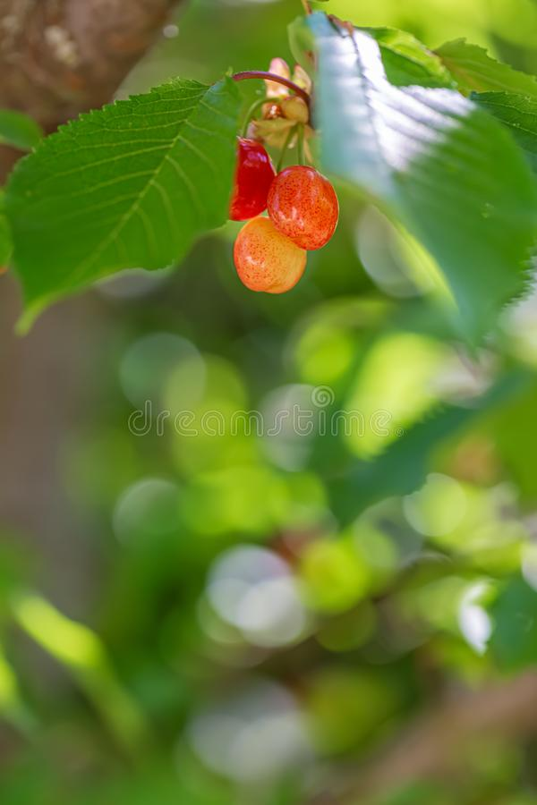 Sweet red cherry ripens on a green tree in the summer. Fruits on the branch of sweet cherry. Nature blurred bokeh background. royalty free stock images