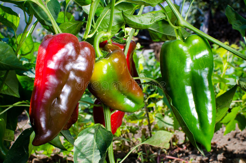 Sweet red kapia peppers royalty free stock photos