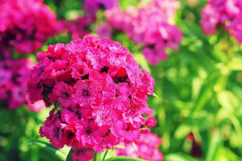 Sweet red william flowers or Dianthus barbatus in the summer garden.  stock photos