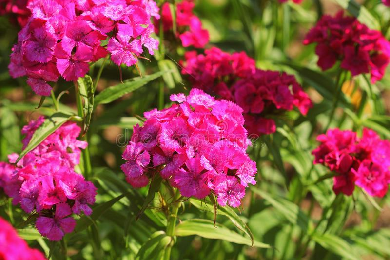 Sweet red william flowers or Dianthus barbatus in the summer garden.  stock photography