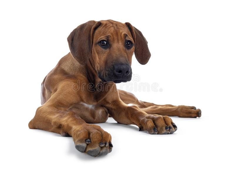 Sweet Rhodesian Ridgeback puppy on white. Cute wheaten Rhodesian Ridgeback puppy dog with dark muzzle, laying down facing front. Looking at camera with sweet royalty free stock photo