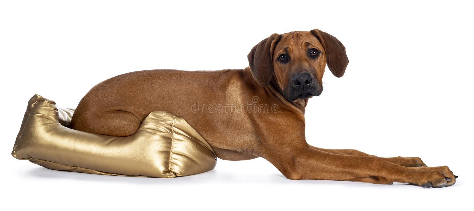 Sweet Rhodesian Ridgeback puppy on white. Cute wheaten Rhodesian Ridgeback puppy dog with dark muzzle, laying down side ways with hind body in golden basket stock image