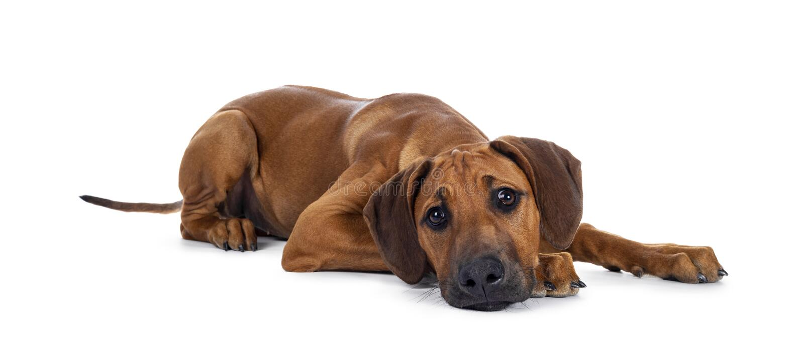Sweet Rhodesian Ridgeback puppy on white. Cute wheaten Rhodesian Ridgeback puppy dog with dark muzzle, laying down side ways facing front. Looking at camera with royalty free stock images
