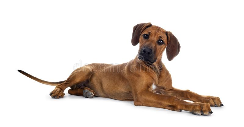 Sweet Rhodesian Ridgeback puppy on white. Cute wheaten Rhodesian Ridgeback puppy dog with dark muzzle, laying down side ways facing front. Head up and looking at stock photos