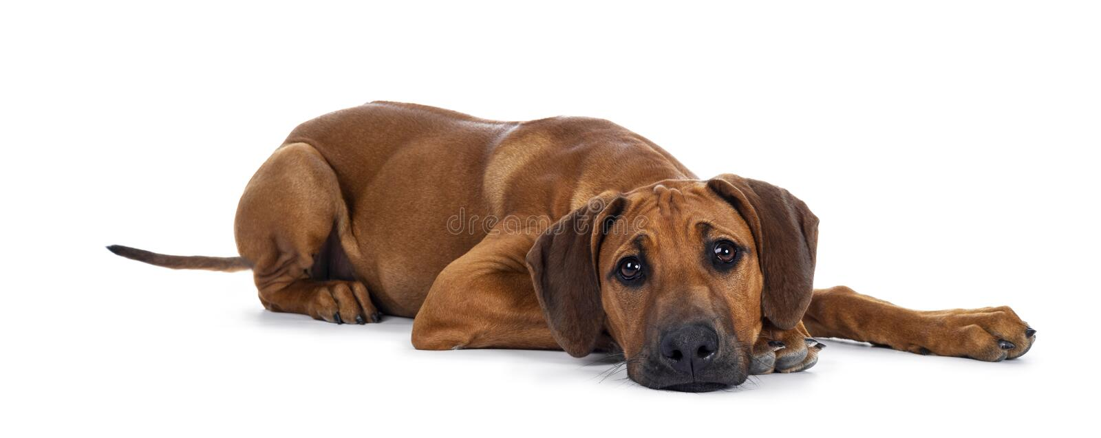 Sweet Rhodesian Ridgeback puppy on white. Cute wheaten Rhodesian Ridgeback puppy dog with dark muzzle, laying down side ways facing front. Looking at camera with royalty free stock image