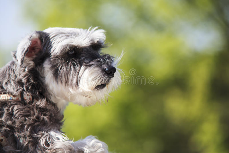 Sweet Schnauzer dog with funny ears smiles with nice background. The Sweet Schnauzer dog with funny ears smiles with nice background color royalty free stock photography