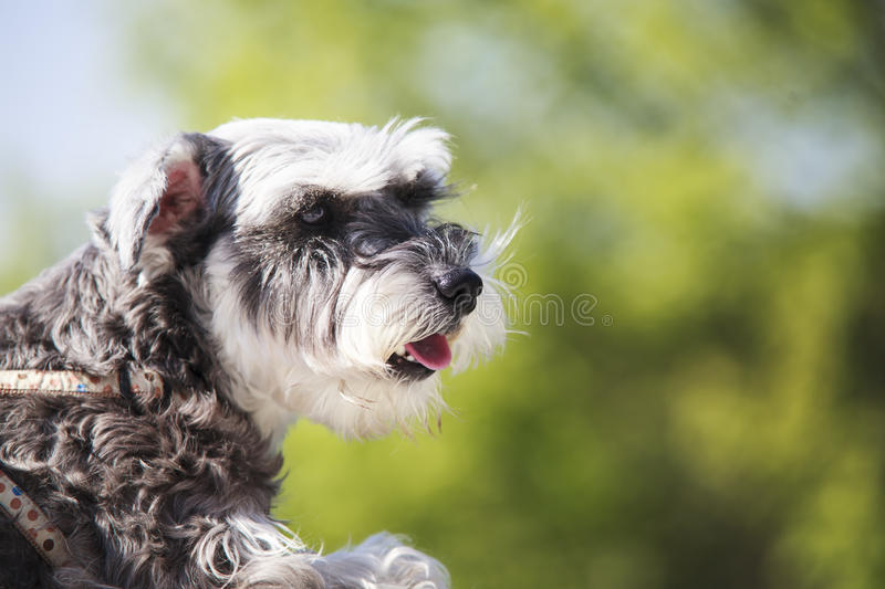 Sweet Schnauzer dog with funny ears smiles with nice background. The Sweet Schnauzer dog with funny ears smiles with nice background color royalty free stock images