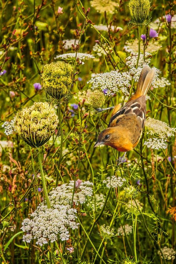 Female Baltimore Oriole in Wild Flowers stock photo