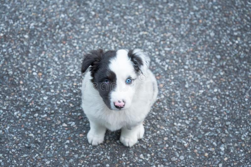 Sweet and small australian shepherd puppy dog royalty free stock photo