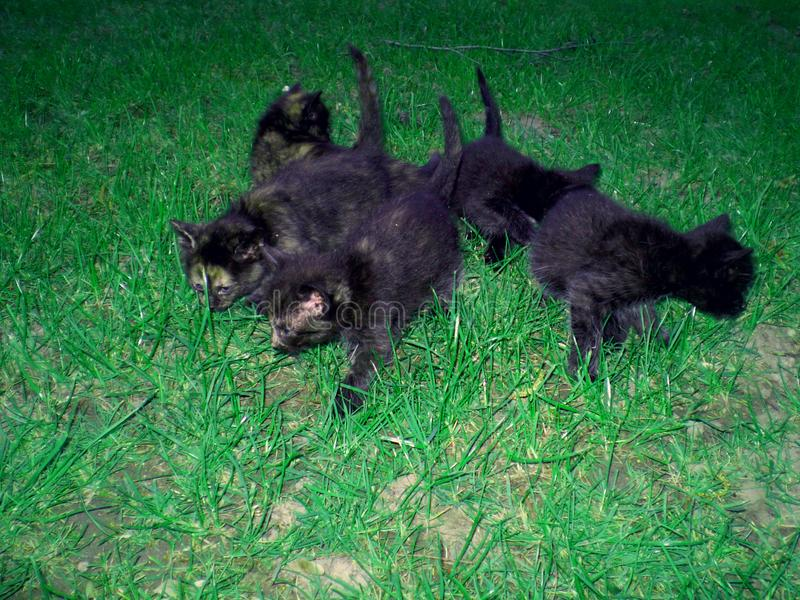 Sweet small cats and green grass. adorable black kittens. Are playing stock photography