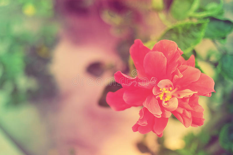 Sweet and Soft Flower Hibiscus mutabilis in vintage color. stock photo