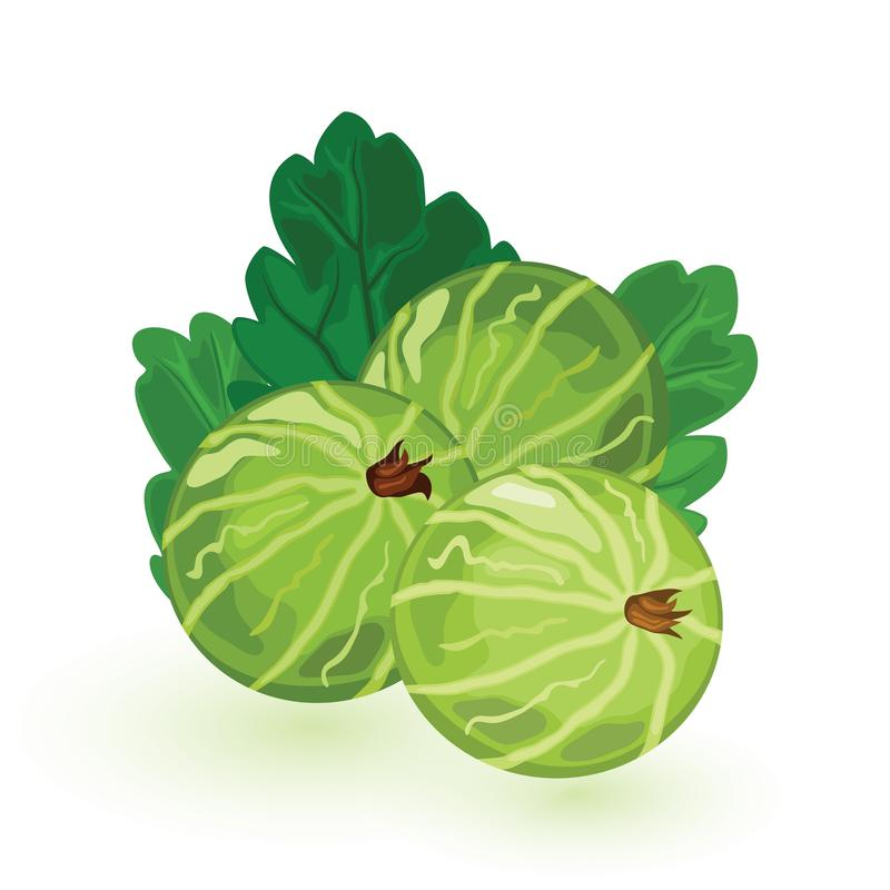 Sweet and sour green gooseberry with leaves. Berries are natural antioxidant. vector illustration
