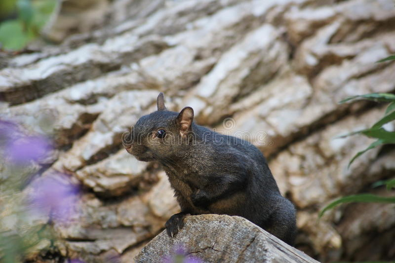 Sweet Squirrel. Close up of isolated squirrel. Purple flowers forefront, fallen tree in background stock photos