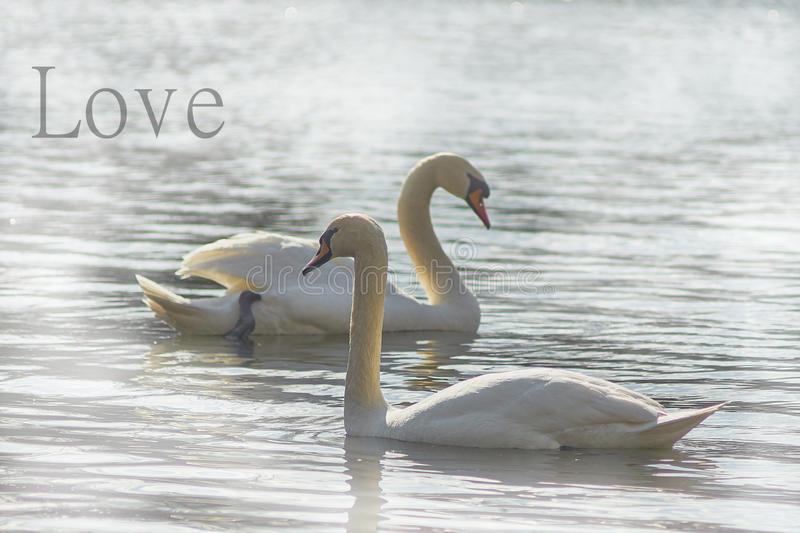 Sweet Swans Symbols Of Love Stock Image Image Of Floats Flow