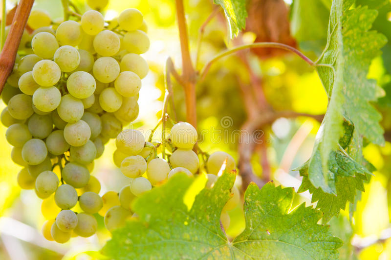 Sweet and tasty white grape bunch on the vine, close up stock photo