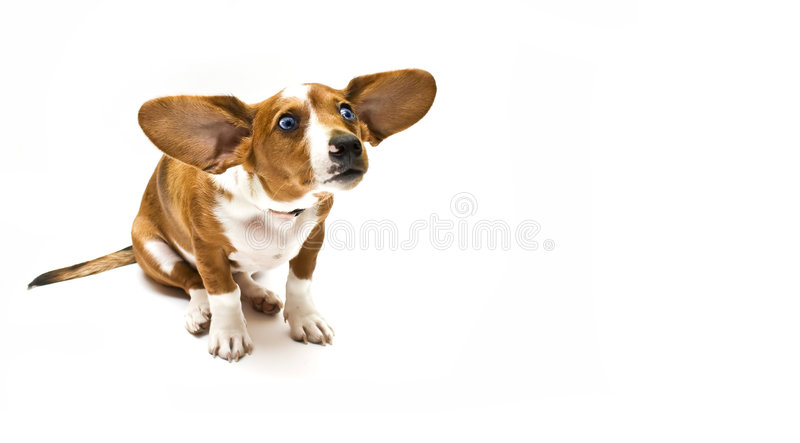 Download Sweet teckel stock image. Image of pedigree, friend, snout - 6116407