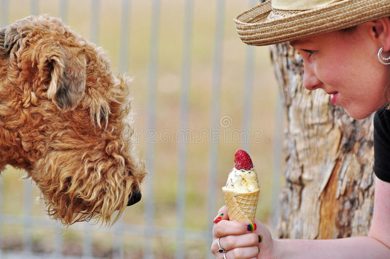 Sweet temptation, Airedale dog staring at icecream royalty free stock image