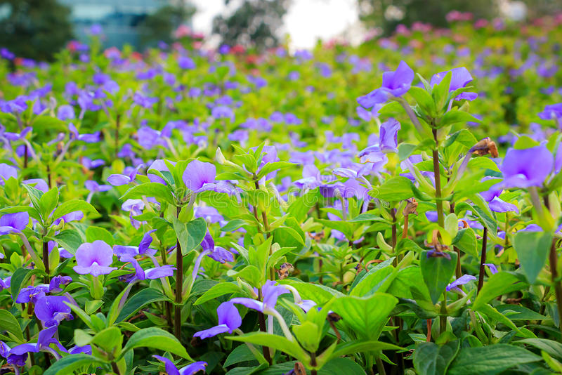 Sweet violet flowers. In the garden on a day royalty free stock image