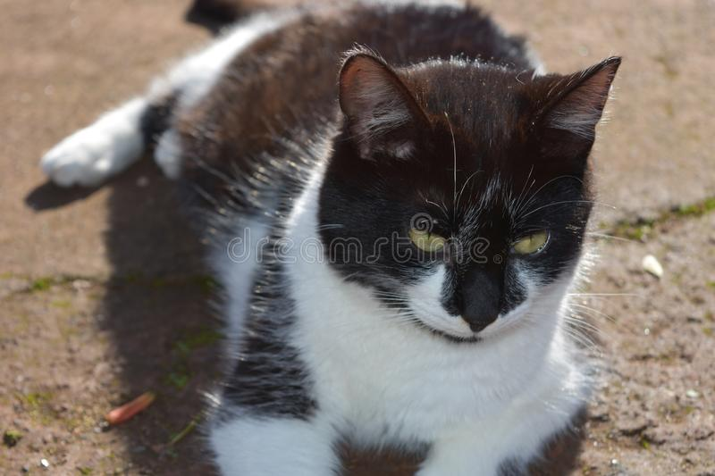 Gorgeous White and Black Short Haired Cat in the Sun royalty free stock photography