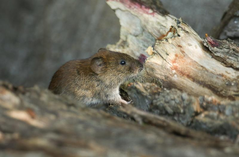 A cute wild Bank Vole, Myodes glareolus foraging for food in a log pile in woodland in the UK. stock photos