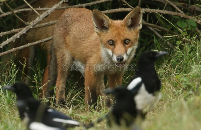 A cute wild Red Fox cub, Vulpes vulpes, watching the Magpies feeding in the long grass. stock photo