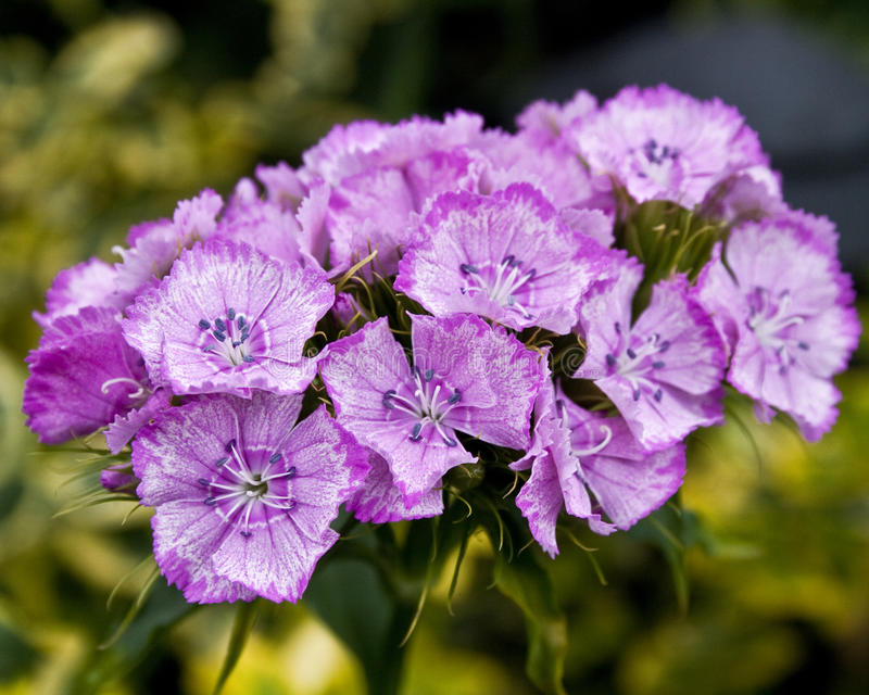 Download Sweet William stock photo. Image of plants, flower, blue - 14902994