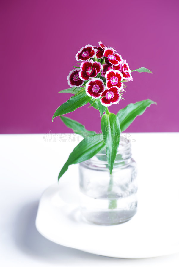 Download Sweet william stock image. Image of dianthus, ornamental - 8327371