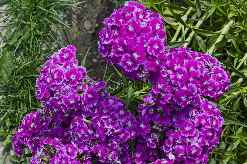 Sweet William or Dianthus barbatus flower is a flowering plant in the garden, district Drujba. Sofia, Bulgaria stock photography
