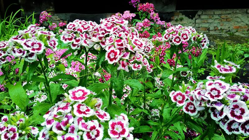 Sweet William Dianthus barbatus stock image
