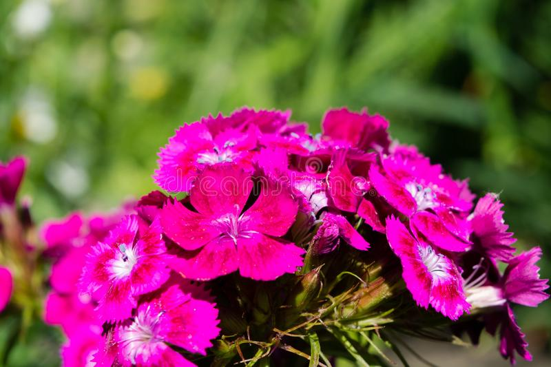Sweet william, Dianthus barbatus, pink carnation on a bed in a garden. Sweet william, Dianthus barbatus, macro pink carnation on a bed, a background green leaves stock images