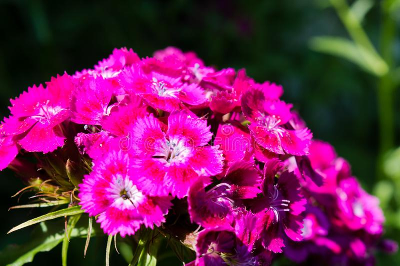 Sweet william, Dianthus barbatus, pink carnation on a bed in a garden. Sweet william, Dianthus barbatus, macro pink carnation on a bed, a background green leaves stock image