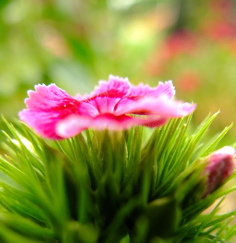 Sweet William Flower closeup petals open. Sweet William Flower. Latin name Dianthus Barbatus. Close up photograph taken in springtime England at a cemetery royalty free stock image