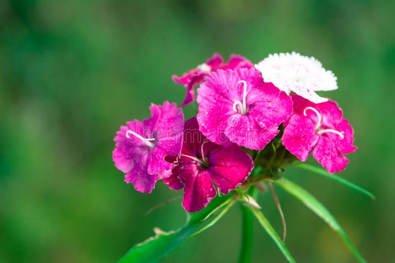 Sweet William Flower. Pink Sweet William flower at. Dianthus barbatus on a green background royalty free stock photography