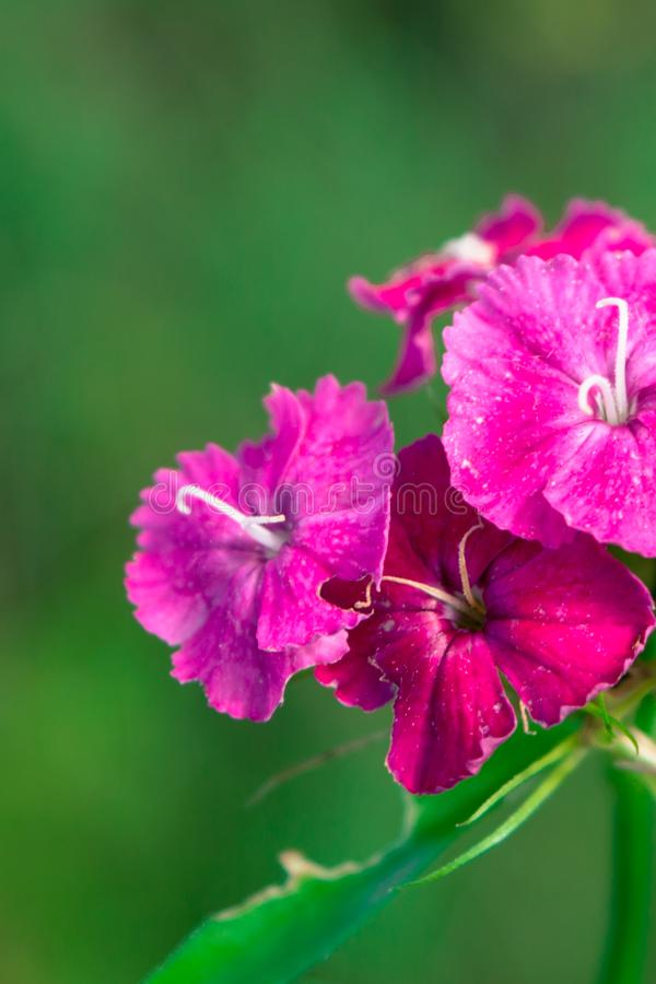 Sweet William Flower. Pink Sweet William flower at. Dianthus barbatus on a green background royalty free stock photo