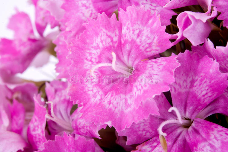Sweet William. Garden flower Sweet William by close-up stock photo