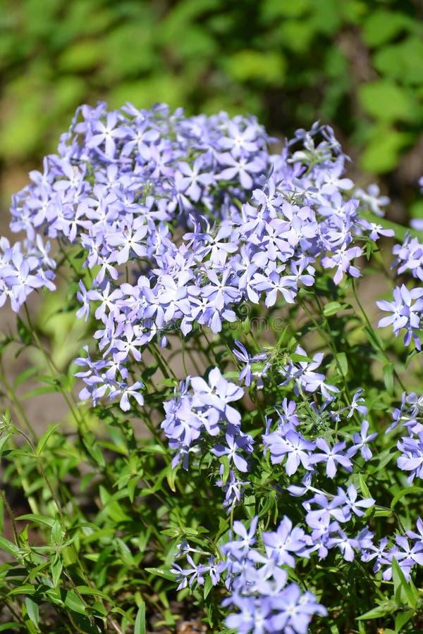 Sweet William phlox Phlox divaricata L. Blossoming.  stock photo