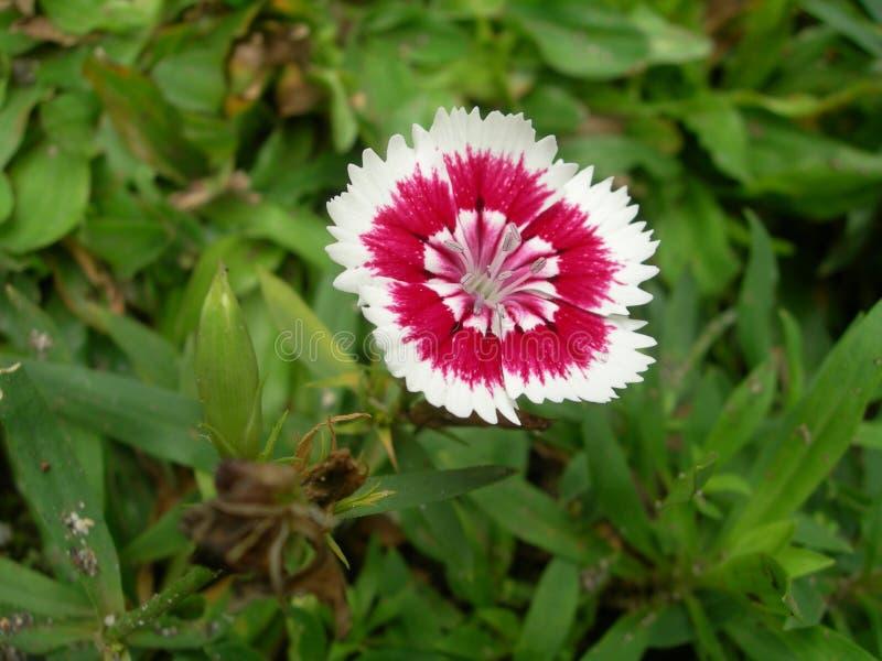 Sweet William. A single White & red Sweet William (Dianthus Barbatus) flower macro royalty free stock photo