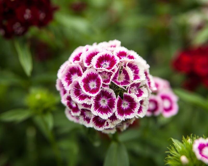 Sweet Williams. In full bloom stock image