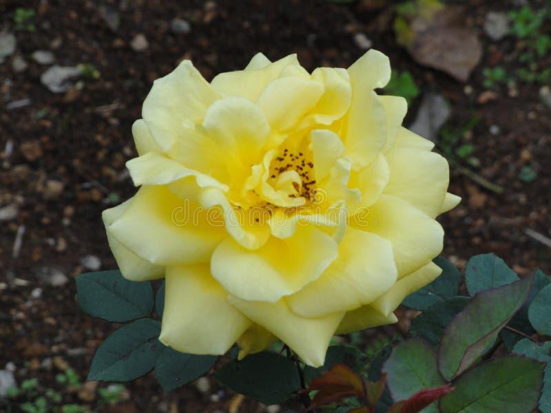 Sweet yellow flower, Himalaya mountains, India. Sweet yellow, morning beauty, energetic bright, beautiful fresh petals, Himalaya mountains, India, very rare royalty free stock photography