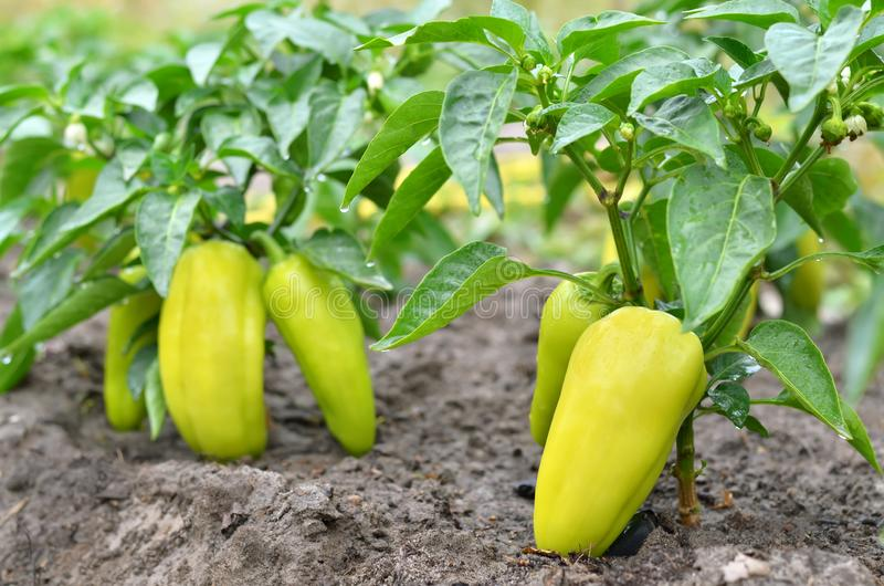 Sweet yellow paprika bushes stock photo
