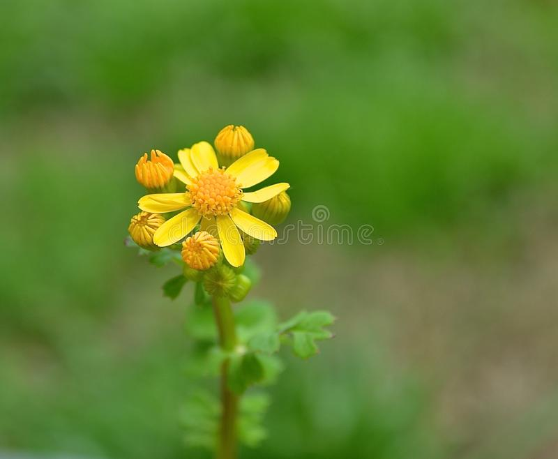 Sweet Yellow weed flower in the grass - closeup stock photography