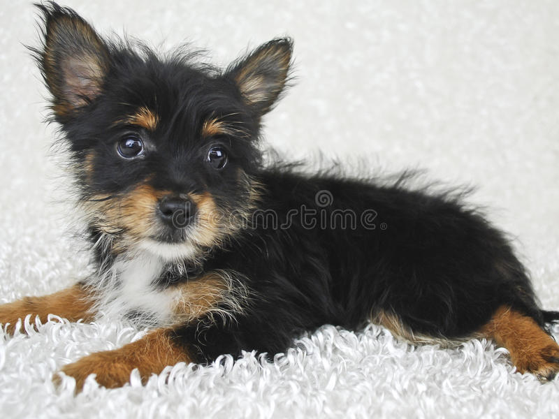 Download Sweet Yorki-Pom Puppy stock image. Image of small, animals - 22824415